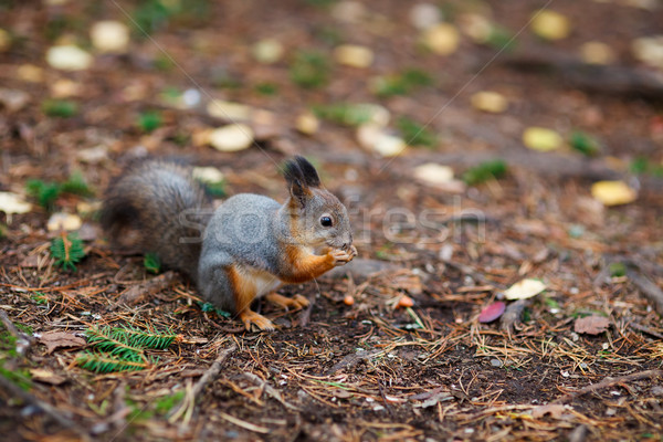 Stock photo: Eurasian red squirrel in the wild