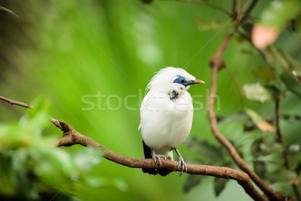 White exotic bird on a branch Stock photo © Juhku
