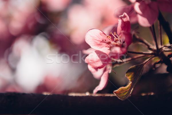美しい リンゴの木 花 春 ツリー ストックフォト © Juhku