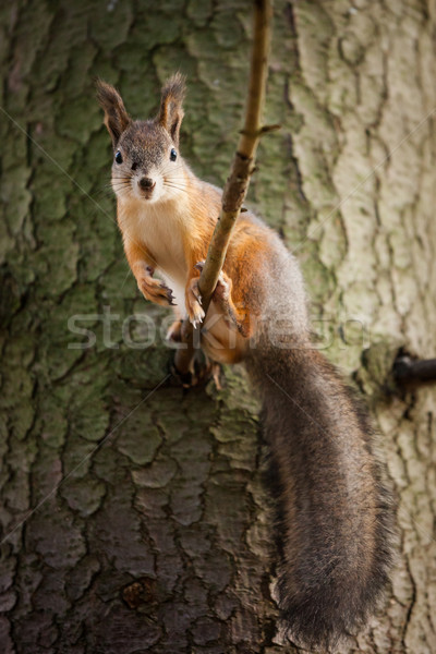 Eurasian red squirrel in the tree Stock photo © Juhku