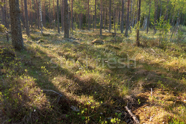 Morning light in forest Stock photo © Juhku