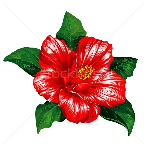 красный гибискуса цветок белый Blossom листьев Сток-фото © jul-and