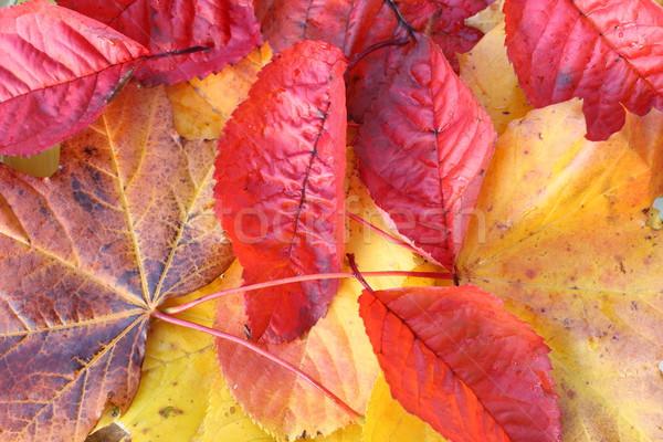 Stock fotó: Gyönyörű · fényes · őszi · levelek · közelkép · absztrakt