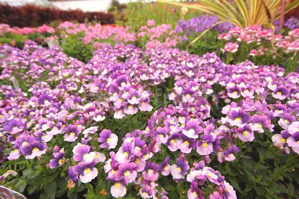 Violette rose fleurs nature lumière Photo stock © Julietphotography