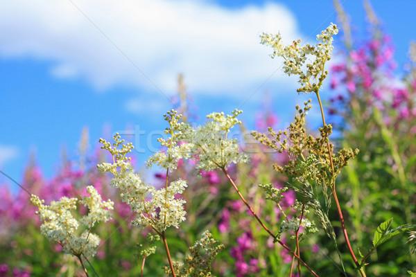 Beautiful wildflowers meadow  Stock photo © Julietphotography