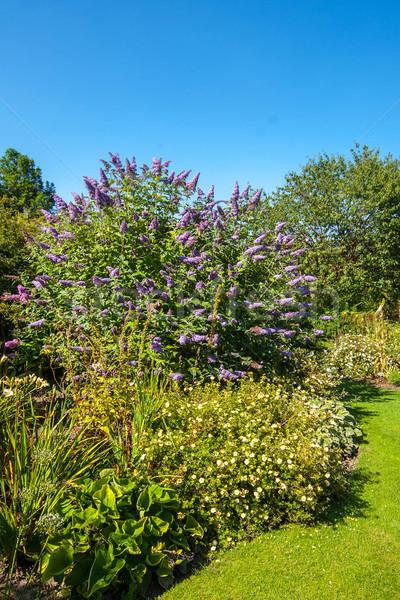 Butterfly bush, Violet butterfly bush, Summer lilac, Butterfly-bush, Orange eye (Buddleja davidii, B Stock photo © Julietphotography