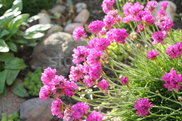 Deep Pink Thrift flowers Stock photo © Julietphotography