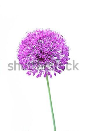 Stock fotó: Gyönyörű · virágzó · közelkép · izolált · fehér · virágok