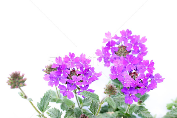 Beautiful verbena close up Stock photo © Julietphotography