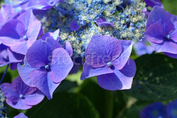 Blue hydrangea Stock photo © Julietphotography