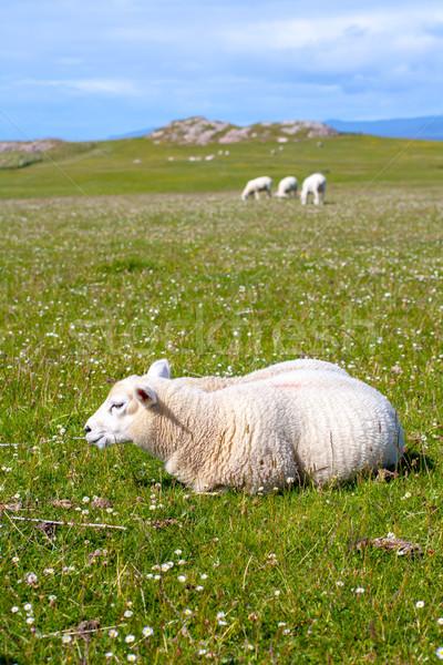 Schapen paarden velden Schotland klein Stockfoto © Julietphotography