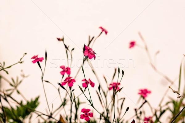 Mossy saxifrage fireworks, rockery plants Stock photo © Julietphotography