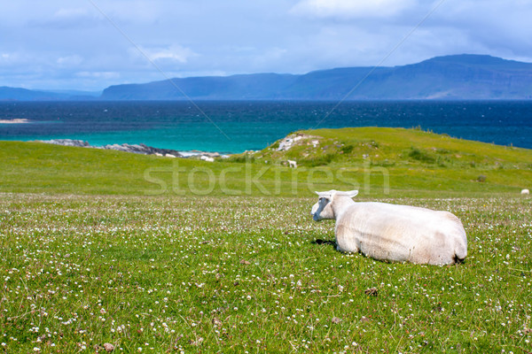 Sheep and horses in the fields of Iona in the Inner Hebrides, Scotland Sheep in the fields of Iona i Stock photo © Julietphotography