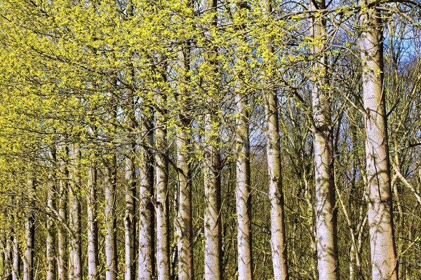 Springtime trees in the park Stock photo © Julietphotography