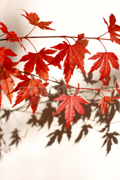 Beautiful red japanes maple against white background Stock photo © Julietphotography