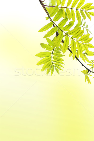 Spring background with ash tree branch Stock photo © Julietphotography