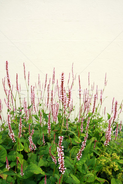 Persicaria amplexicaulis 'Firetail'  Stock photo © Julietphotography