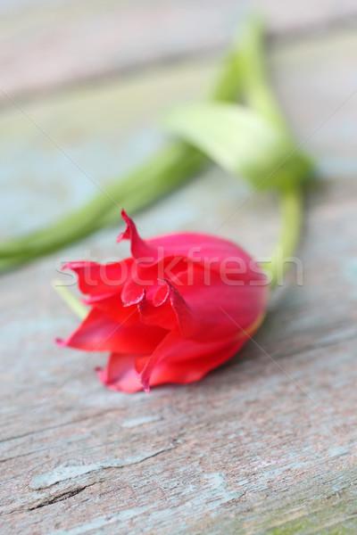 Beautiful red tulip close up  Stock photo © Julietphotography