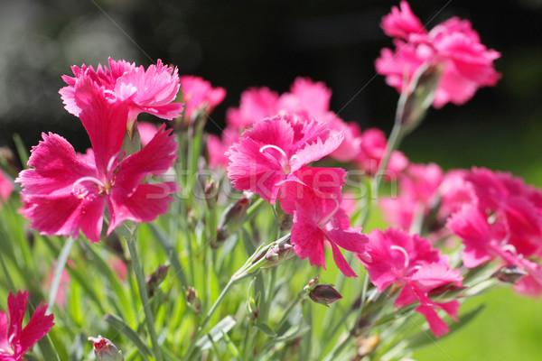Rot Nelke Blumen Garten Blume Stock foto © Julietphotography