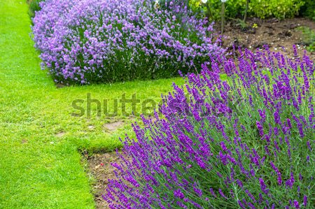Violet geranium flowers along the path Stock photo © Julietphotography