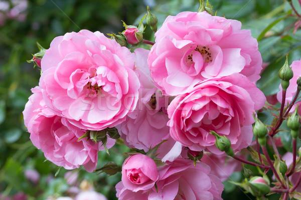 Lovely pink climbing roses Stock photo © Julietphotography