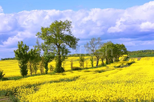 Hermosa campos violación primavera árboles cielo Foto stock © Julietphotography