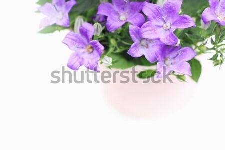 Violet campanula flowers close up Stock photo © Julietphotography