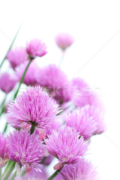 Chives flowers close up Stock photo © Julietphotography