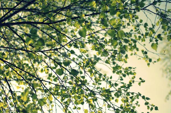 Tavasz nyírfa faág retró stílus erdő absztrakt Stock fotó © Julietphotography