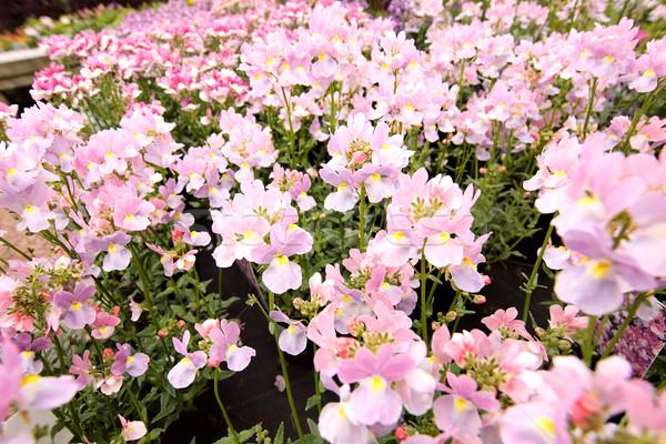 Stock photo: Blooming pink Nemesia bedding flowers close-up