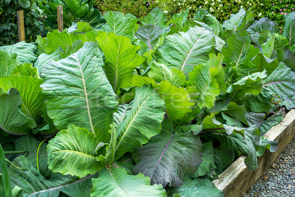 Cabbage growing in the garden close up  Stock photo © Julietphotography