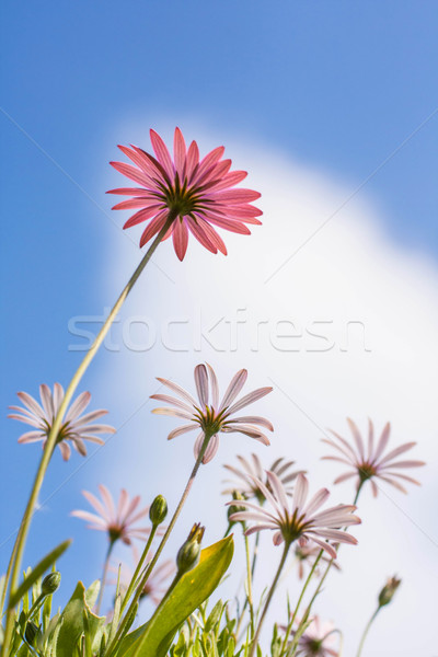 Pink and white osteospermum flowers Stock photo © Julietphotography