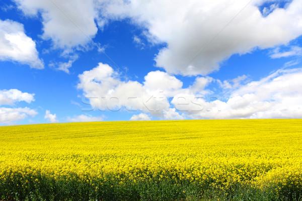 Hermosa campos violación primavera cielo flor Foto stock © Julietphotography