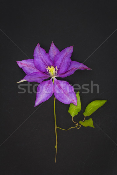 Violet clematis on black background  Stock photo © Julietphotography