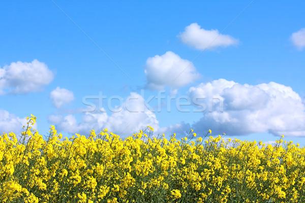 Hermosa campos violación primavera cielo Foto stock © Julietphotography