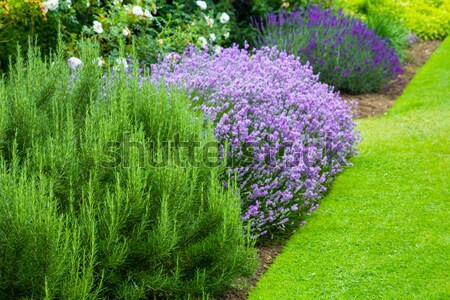 Garden landscaping, blooming salvia Stock photo © Julietphotography