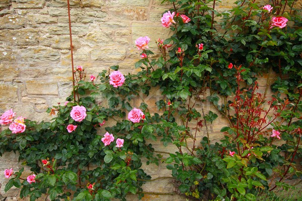 Pink climbing roses on the wall  Stock photo © Julietphotography