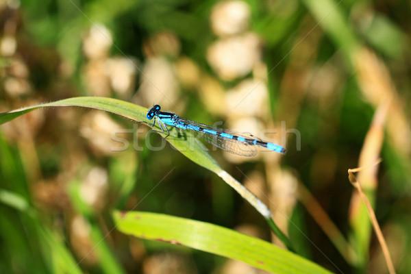 Belo libélula olhos natureza verão Foto stock © Julietphotography