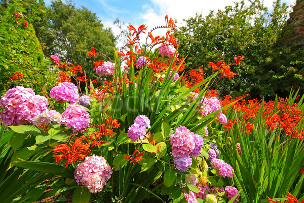 Crocosmia 'Lucifer' and pink hydrangeas Stock photo © Julietphotography