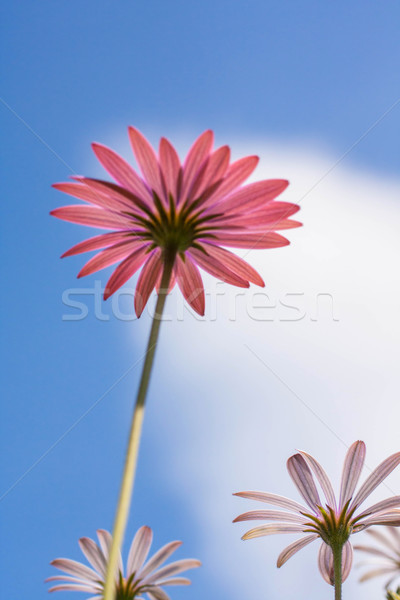 Purple daisy flowers against blue sky Stock photo © Julietphotography