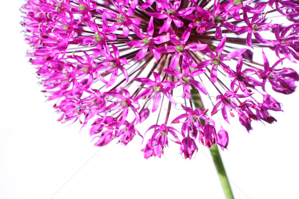 Stock photo: Beautiful blooming allium close up