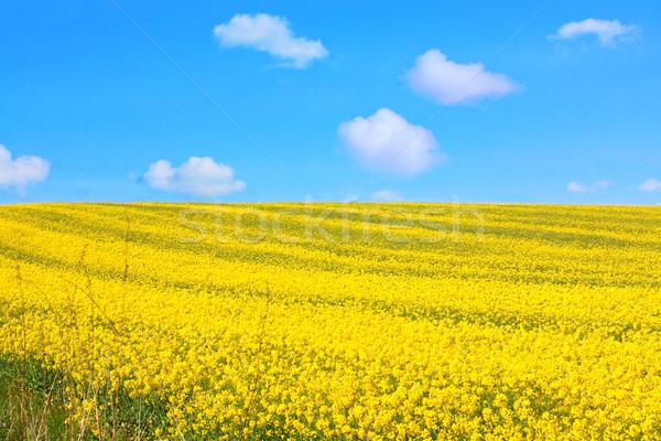 Beautiful fields of rape in Springtime Stock photo © Julietphotography