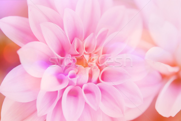 Rosa dalia natura luce giardino Foto d'archivio © Julietphotography