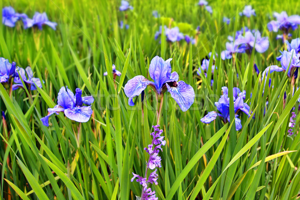 A group of blooming irises close up  Stock photo © Julietphotography