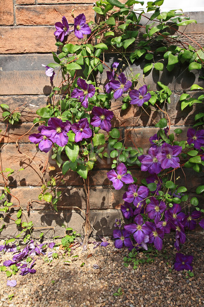 Beutiful violet clematis Stock photo © Julietphotography