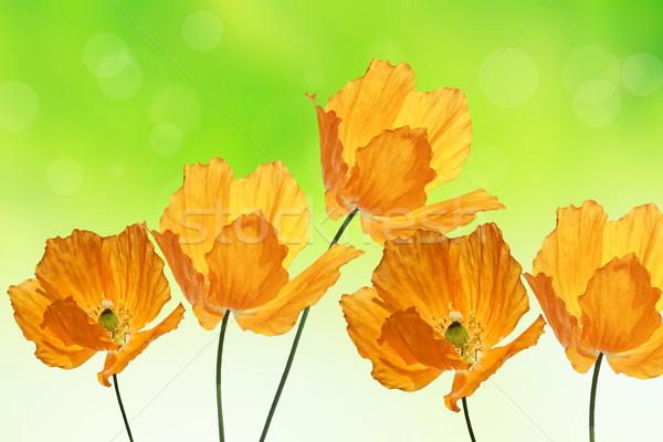 Gyönyörű narancs pipacsok nyár zöld virág Stock fotó © Julietphotography