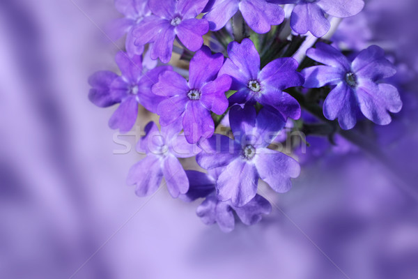 Beautiful blooming verbena Stock photo © Julietphotography