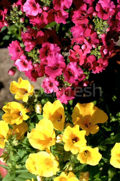 Yelow and pink nemesia flowers close up  Stock photo © Julietphotography