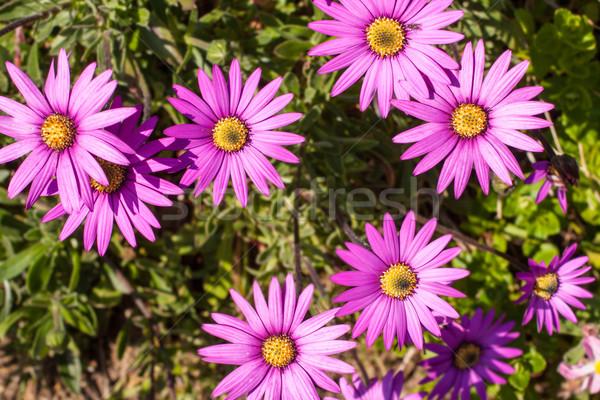 Pink osteospermum flowers Stock photo © Julietphotography