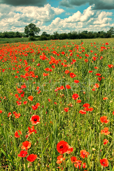 Fields or wild red poppies, vintage  Stock photo © Julietphotography